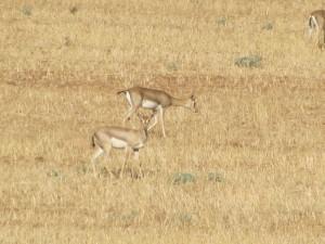 Gazelle's