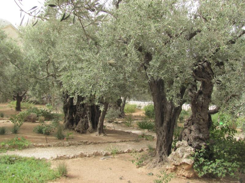 olive trees garden gethsemane