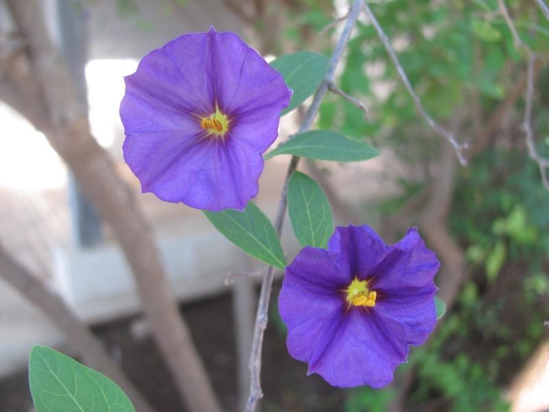 mt carmel flower