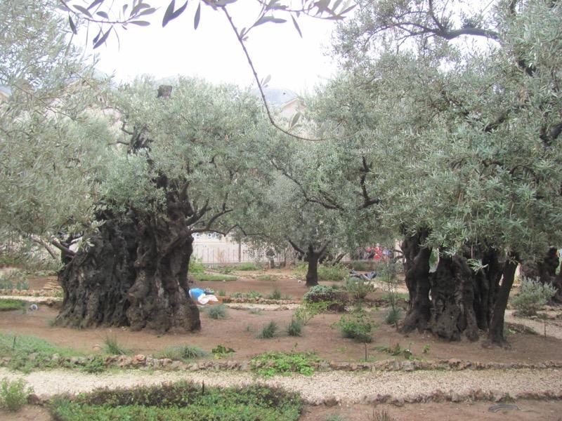 garden of gethsemane olive tree