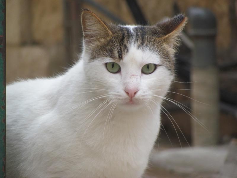 cat in old city jerusalem