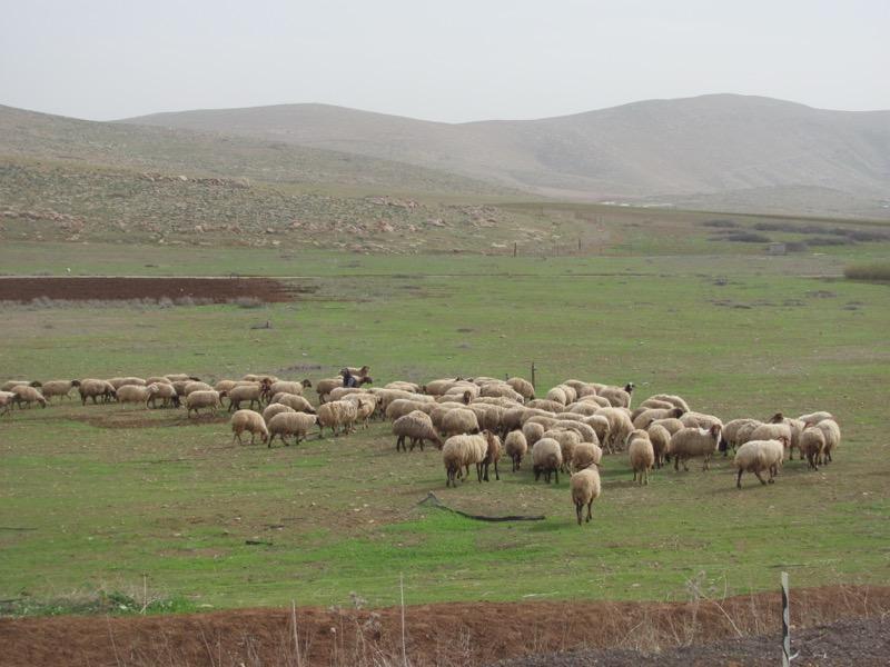 sheep Samaritan hills