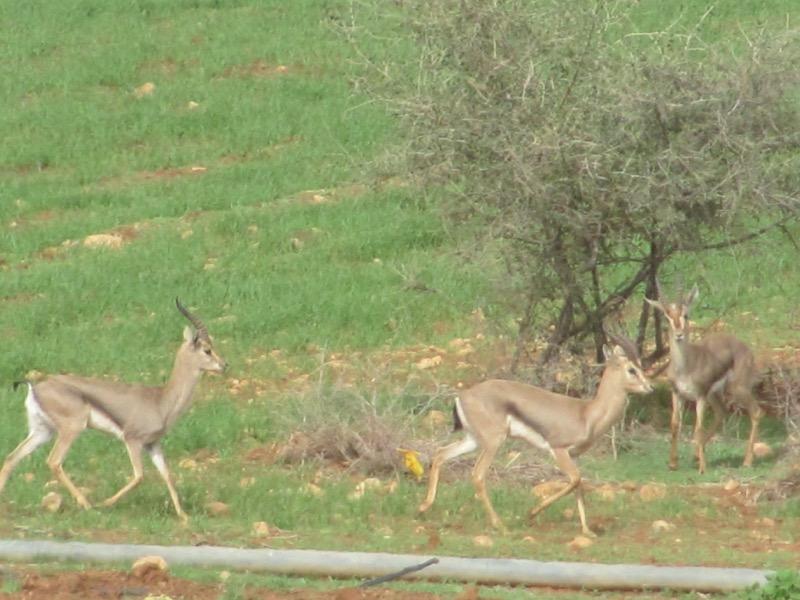 gazelle Samaria israel