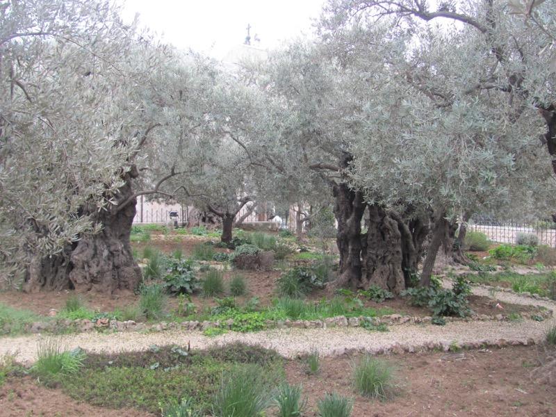 garden of gethsemane jerusalem olive tree