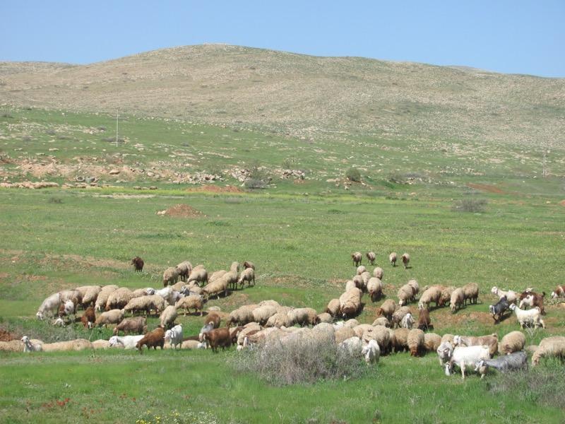 sheep grazing in samaritan hills