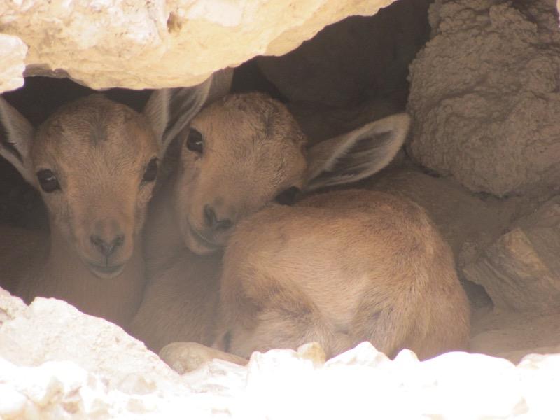 baby ibex at engedi