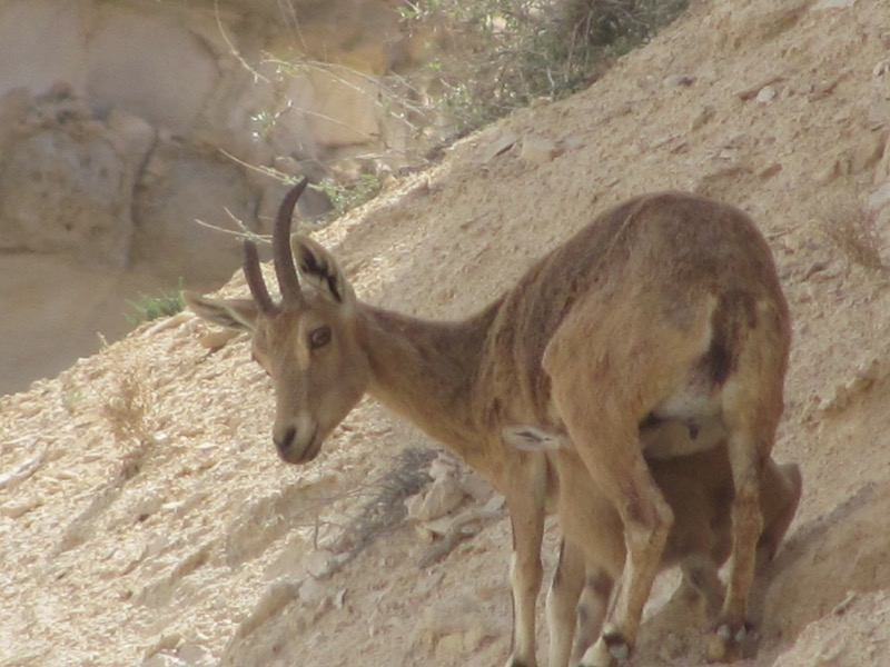 ibex at wadi zin