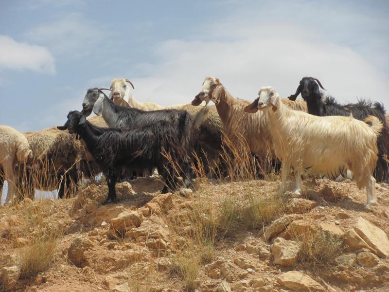sheep in samaria