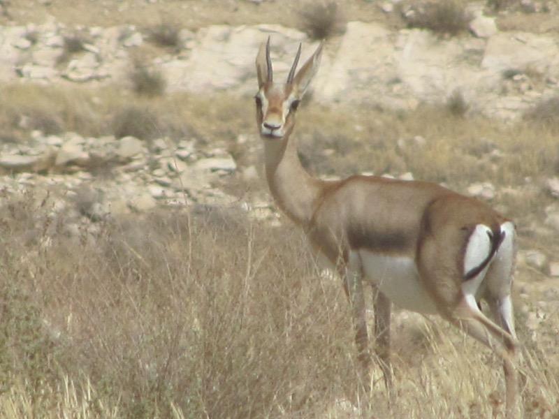 gazelle in israel