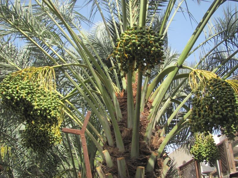 date palm tree jericho