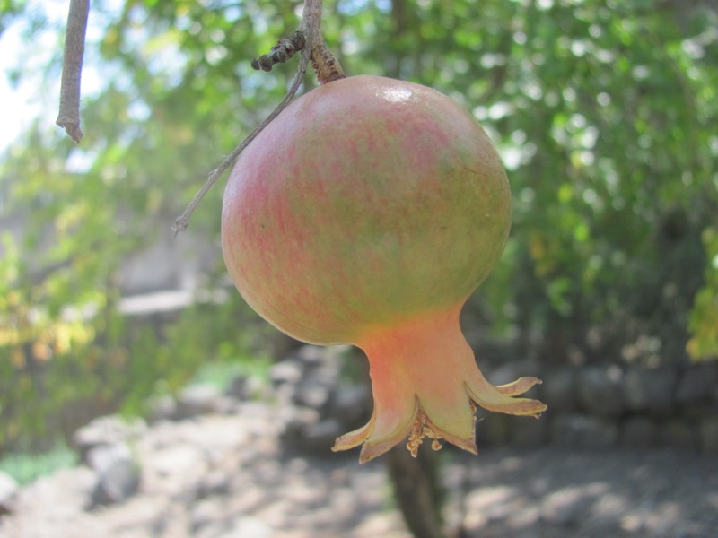 pomegranate tree at katzrin