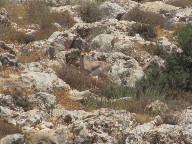 gazelle in israel