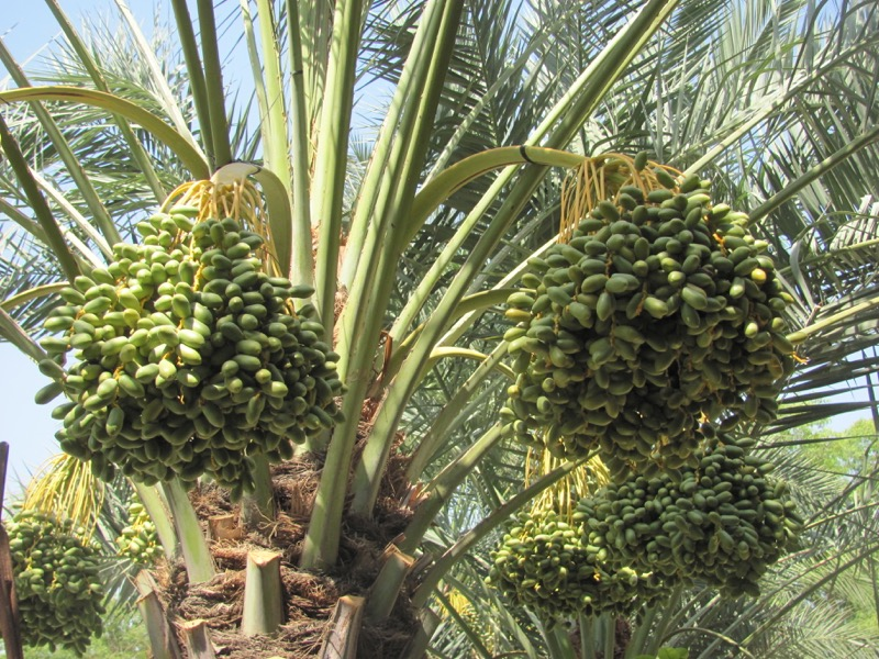 date palm tree in jericho