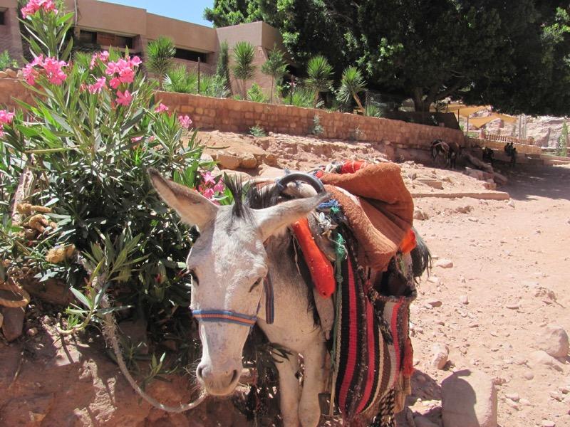 Petra donkey
