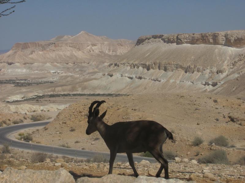 Ibex, Wadi Zin