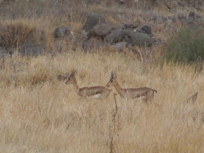gazelle israel