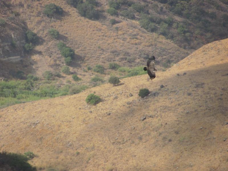 griffon vulture gamla