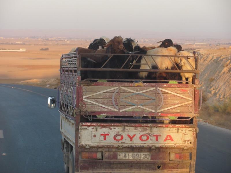 sheep in jordan