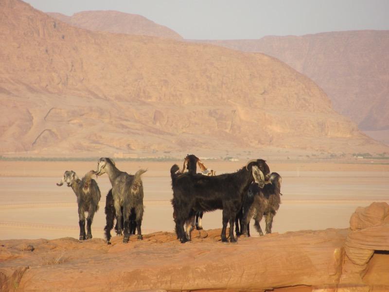 sheep and goats wadi rum jordan