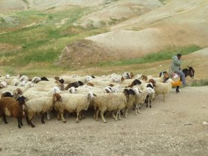 shepherd in israel