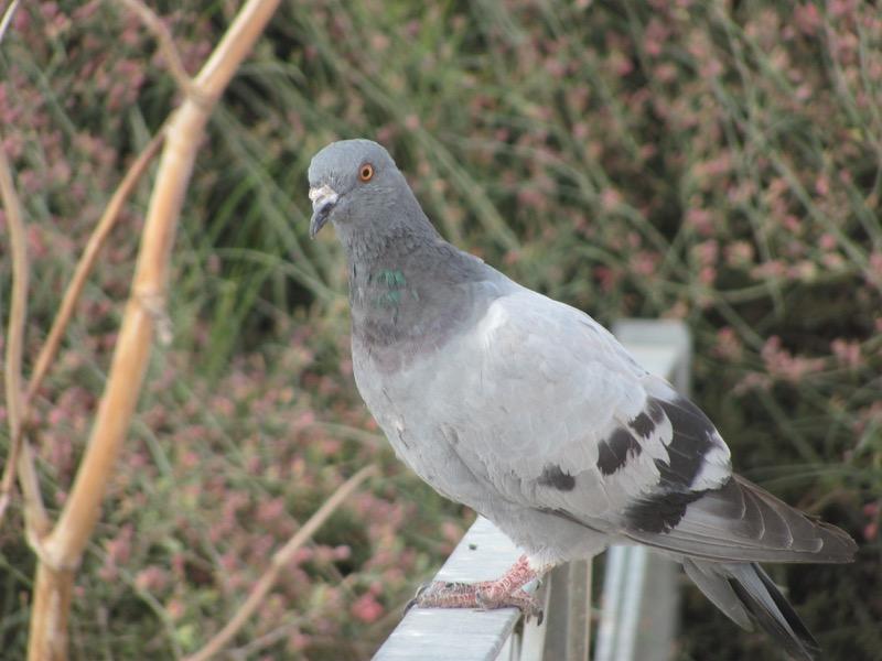 pigeon beit guvrin