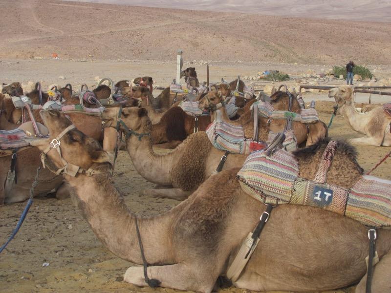 hanokdim camels israel tour