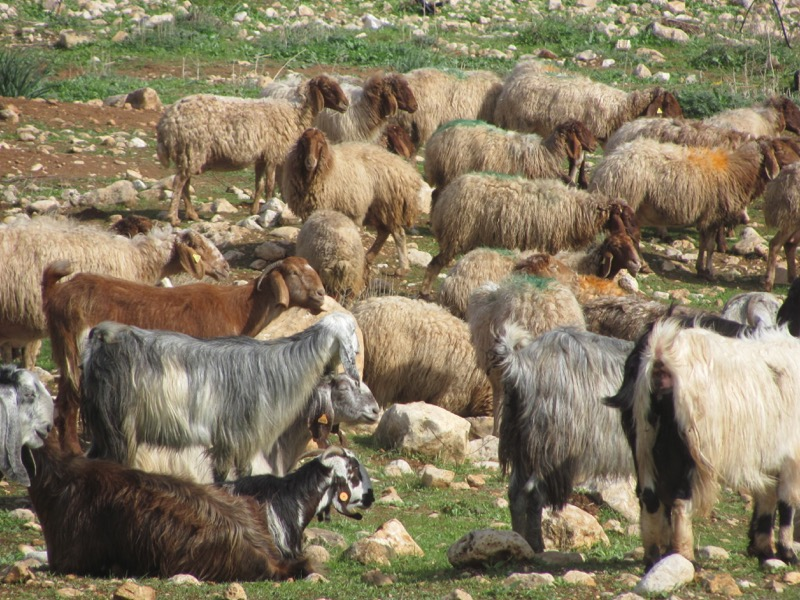 sheep and goats shepherds January 2017 FAM Israel Tour