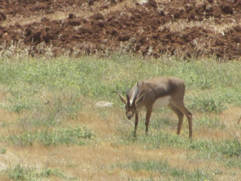 Gazelle Samaritan Hills April 2017 Israel Tour