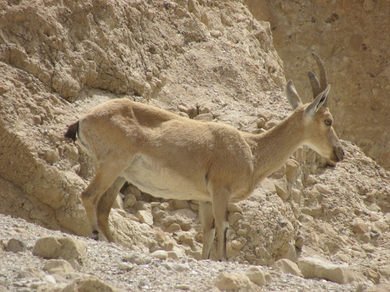 Engedi Ibex April 2017 Israel Tour