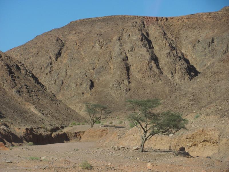 Acacia tree April 2017 Egypt Tour