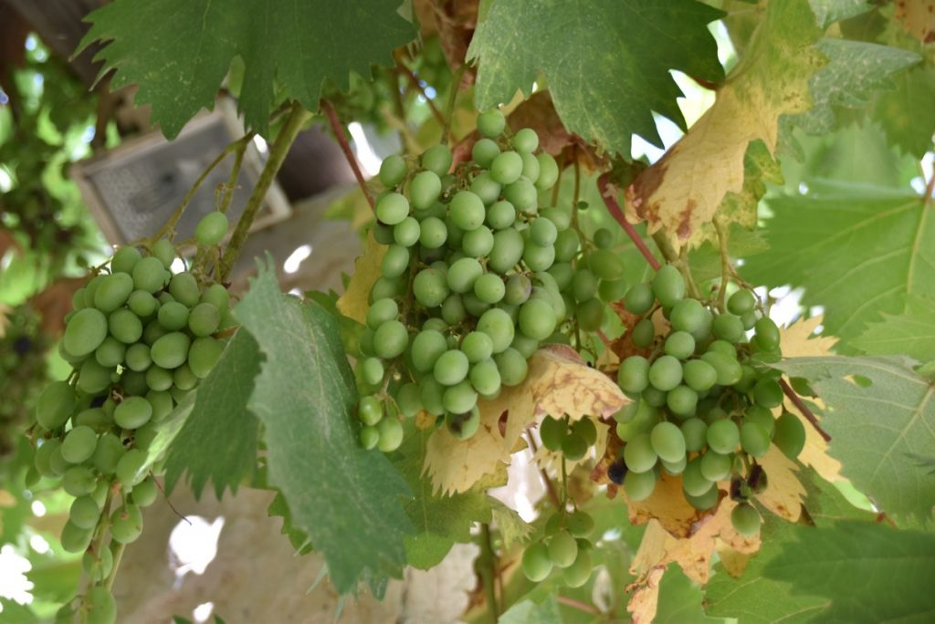 Cluster of grapes June 2017 Israel Tour