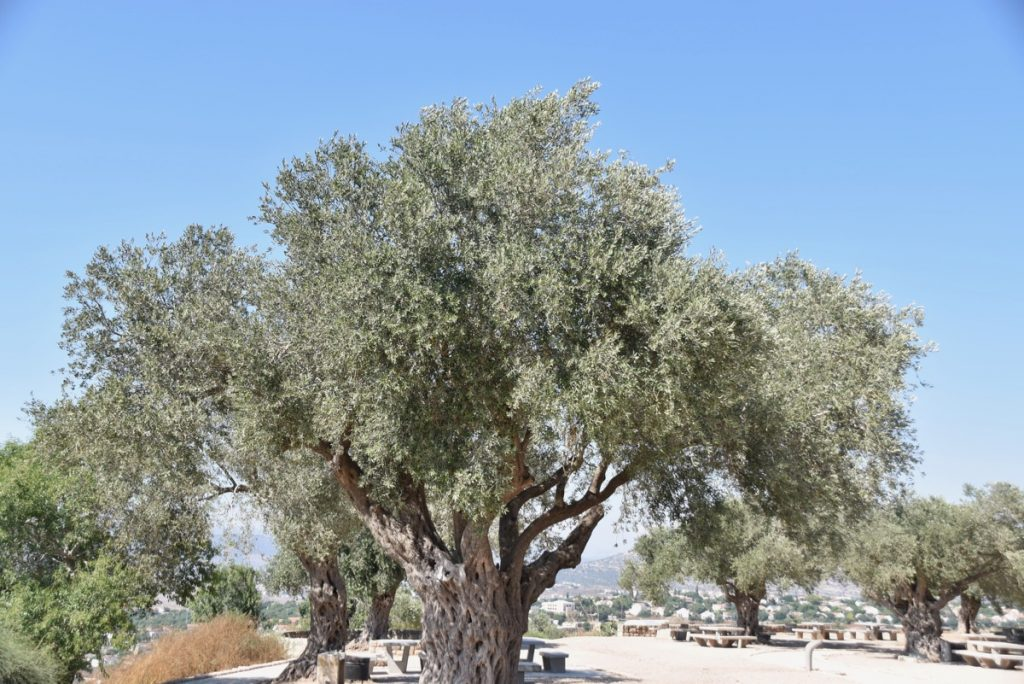 Olive tree June 2017 Israel Tour