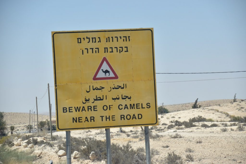 camel crossing June 2017 Israel Tour