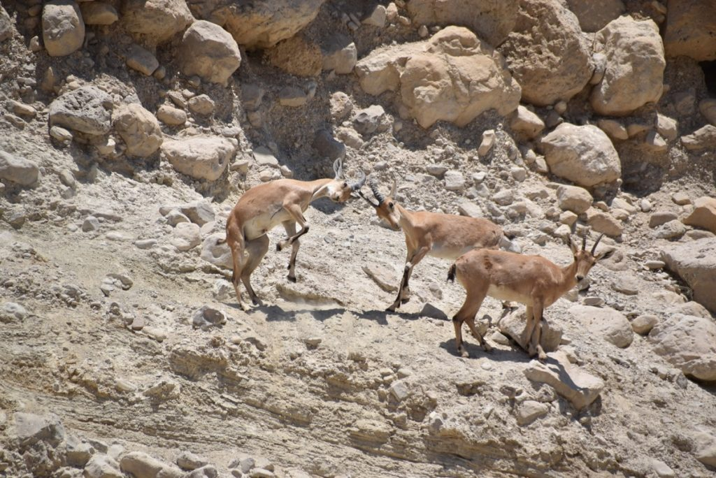 Ibex fighting June 2017 Israel Tour