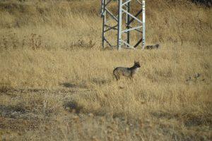 Fox in Israel