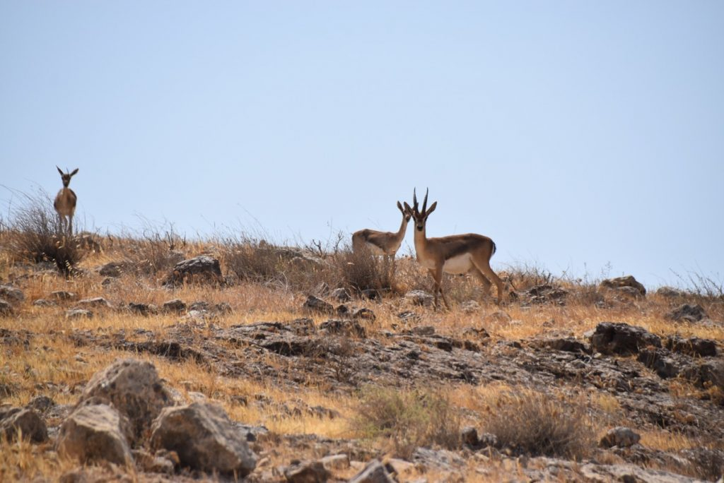 Gazelles in Israel September 2017 Israel Tour Group