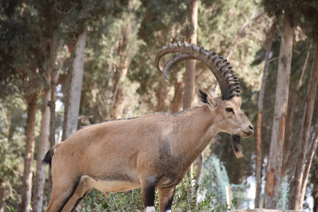 Ibex September 2017 Israel Tour