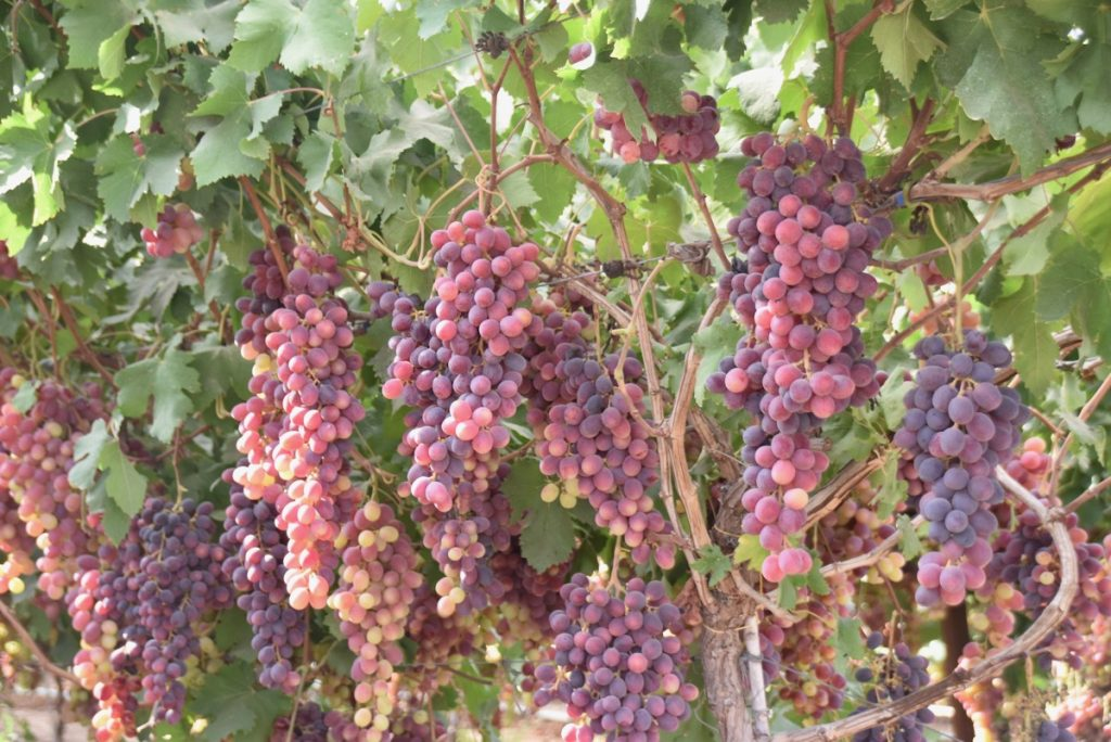 Lachish grapes September 2017 Israel Tour
