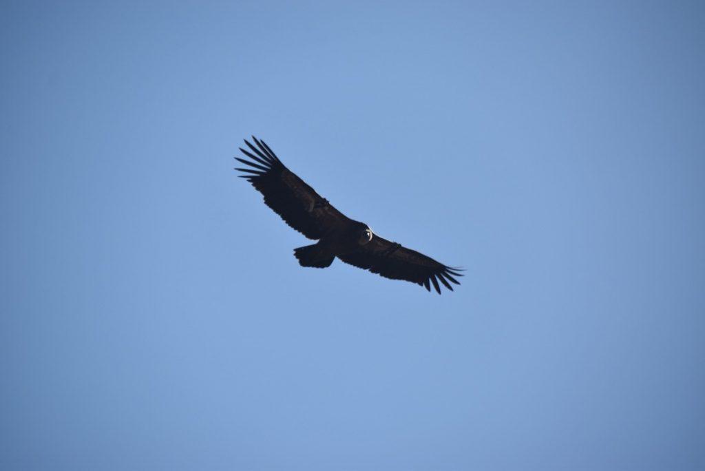 Gamla Griffon Vulture Oct-Nov Egypt-Jordan-Israel Tour with Dr. John DeLancey