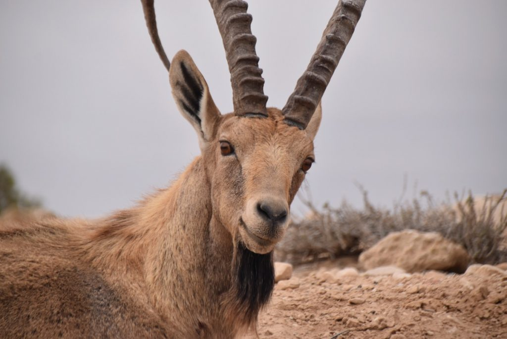 ibex Zin desert January 2018 Israel Tour