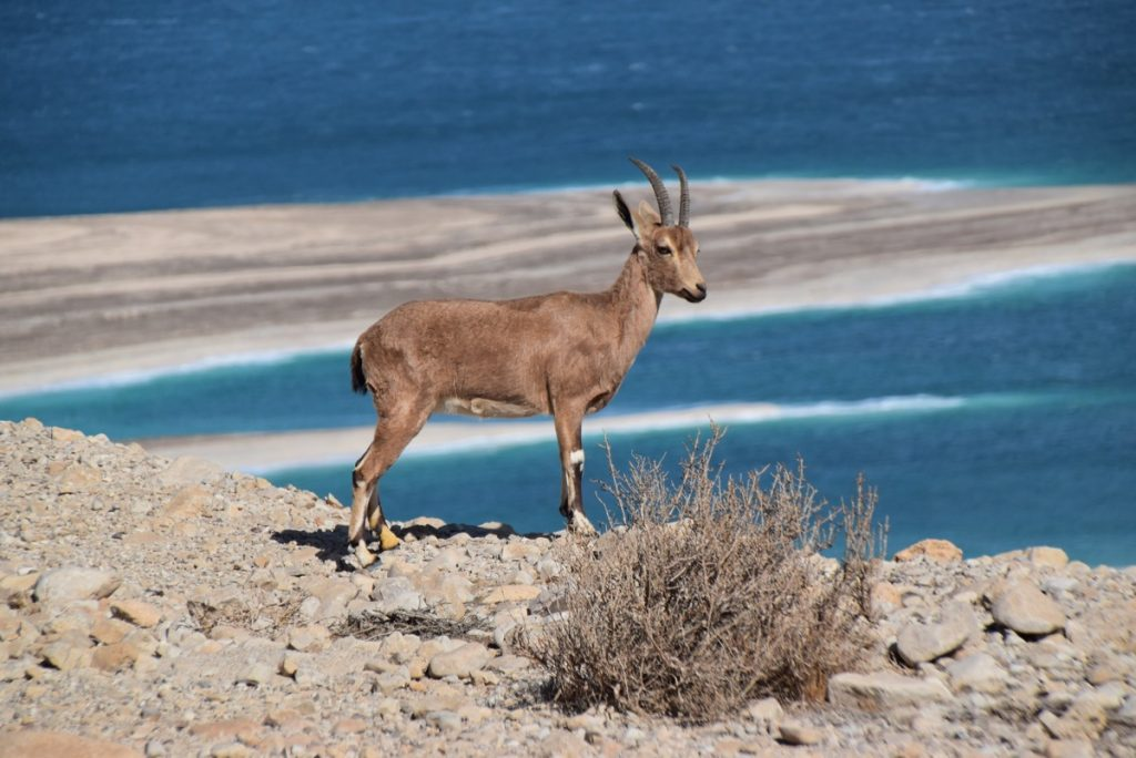 Ibex January 2018 Israel Tour