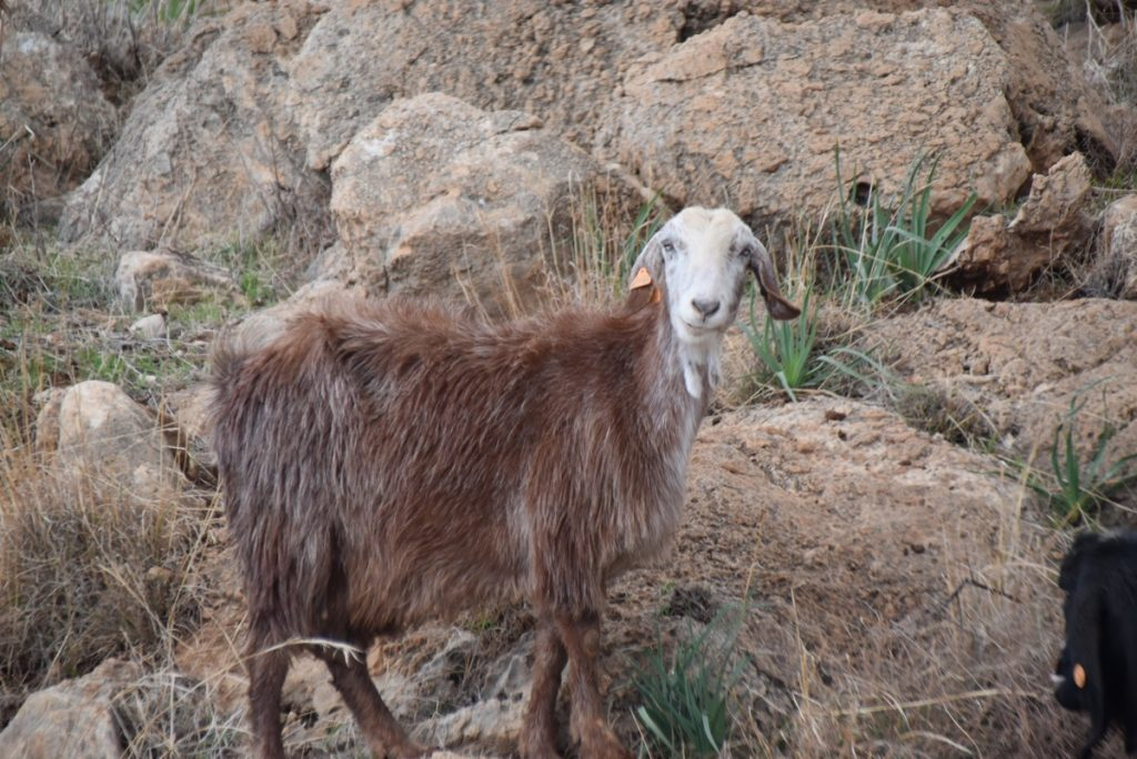Goat Samaritan hill Country January 2018 Israel Tour