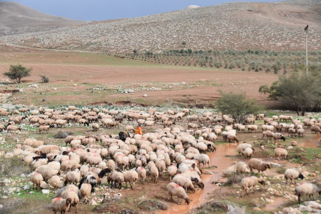 Shepherd and sheep January 2018 Israel Tour