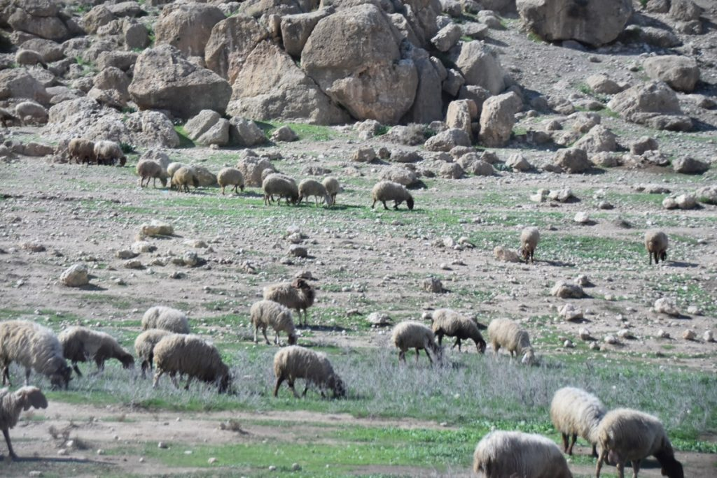 flock of sheep Israel February 2018 Israel Tour