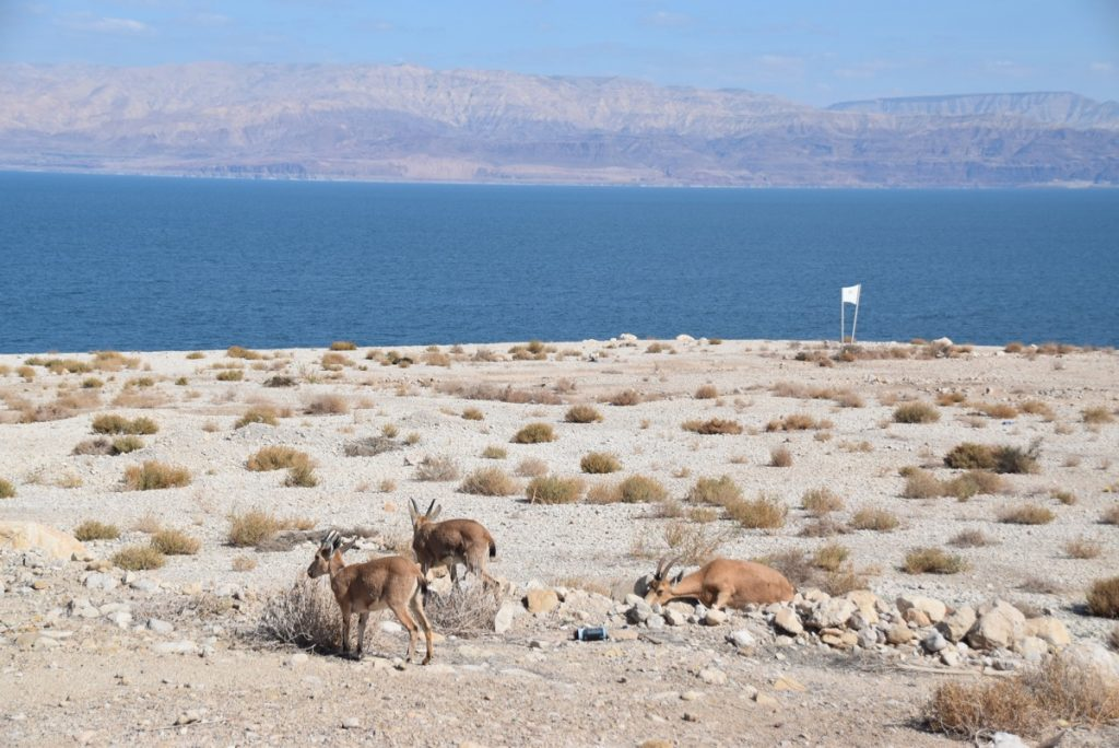 Engedi ibex February 2018 Israel Tour with John DeLancey