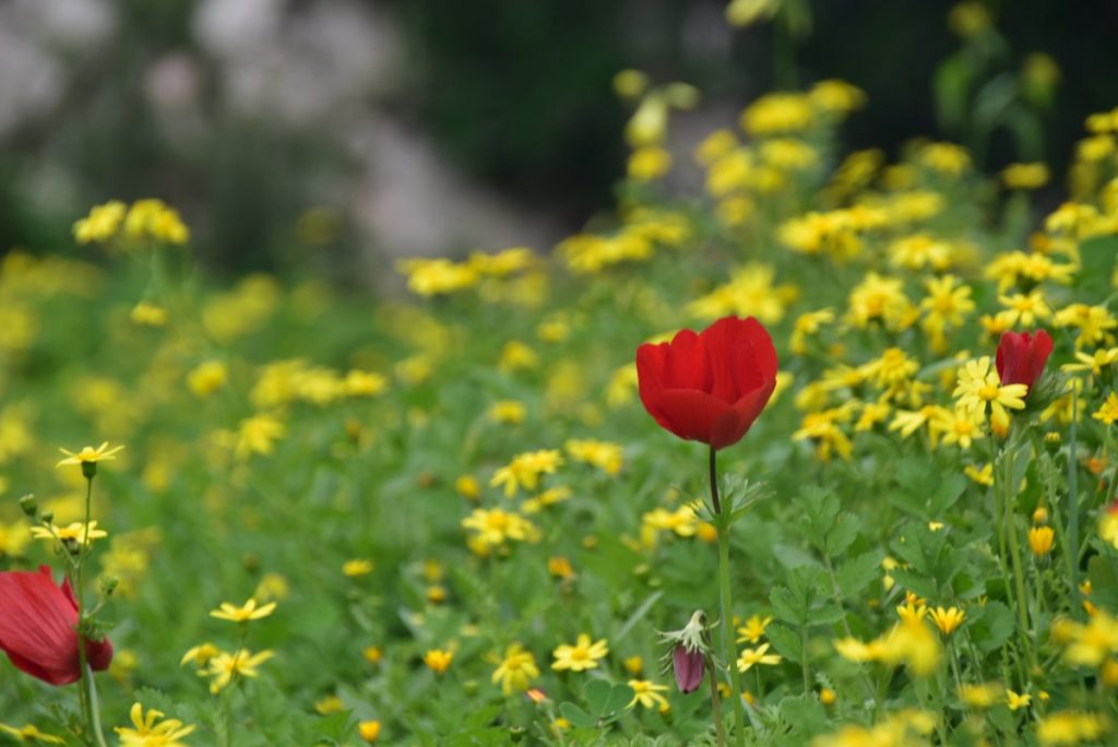 Jerusalem flowers February 2018 Israel Tour with John DeLancey