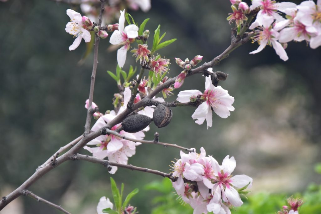Jerusalem almond blossoms February 2018 Israel Tour with John DeLancey