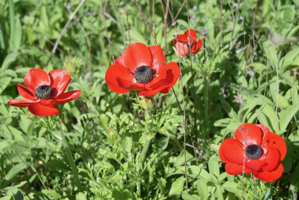 Israel poppies March 2018 Israel Tour John DeLancey