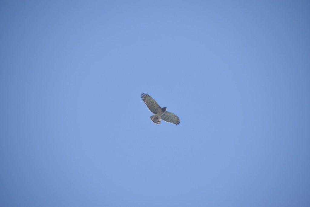 Gamla griffon vulture March 2018 Israel Tour John DeLancey