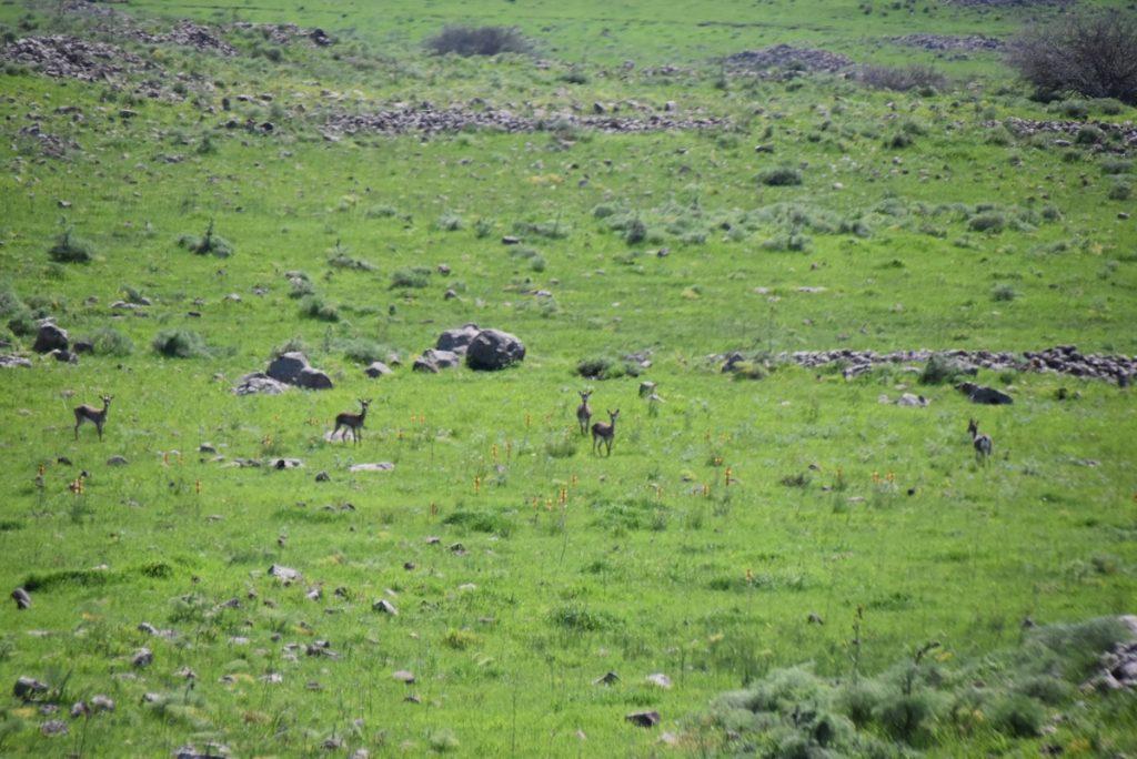 Israel gazelles March 2018 Israel Tour John DeLancey